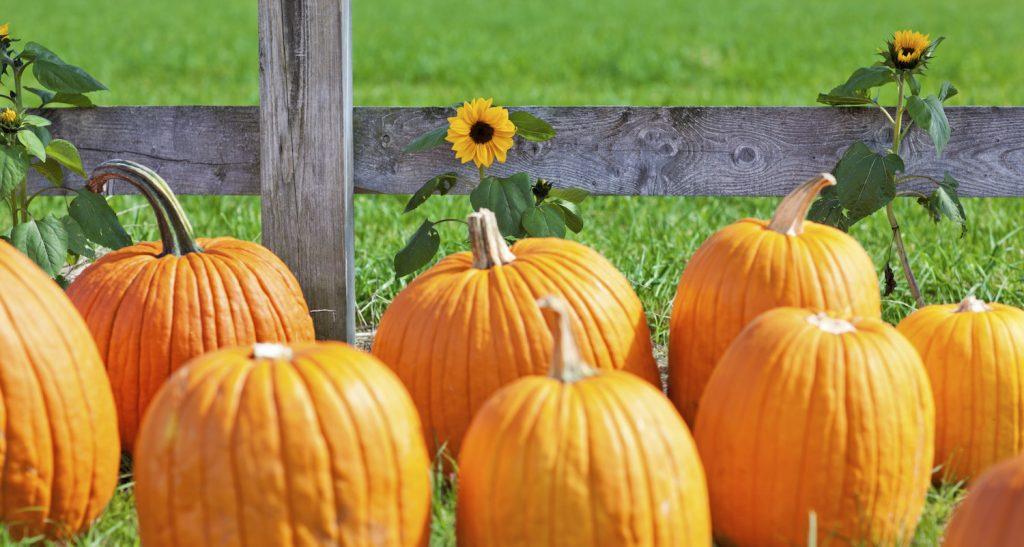 great pumpkin farm clarence ny